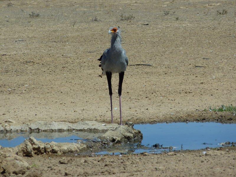 Secretary bird, Kgalagadi