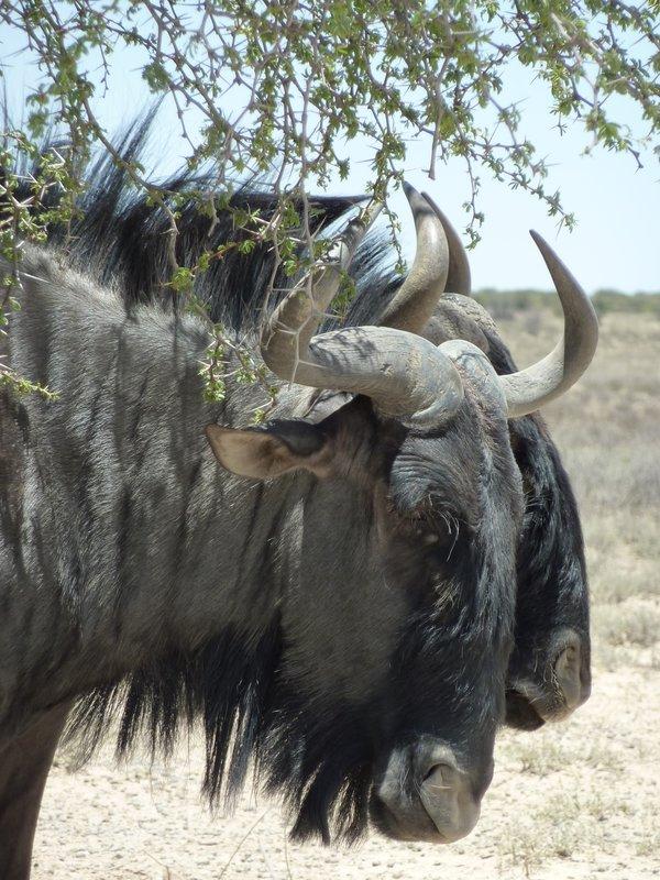 Blue wildebeests, Kalahari