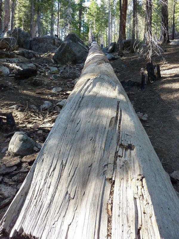 Fallen Sequoia Tree, Yosemite NP, California