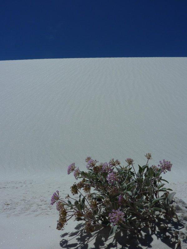 Desert flowers, White Sands, New Mexico