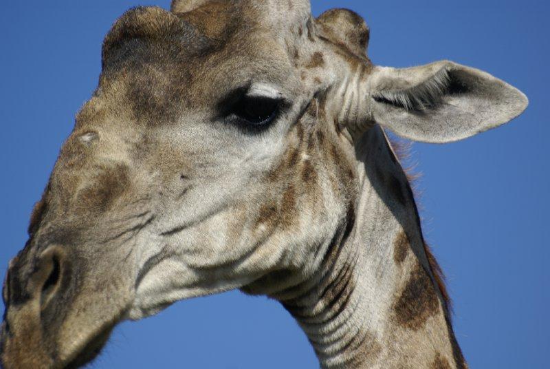 Giraffe up close