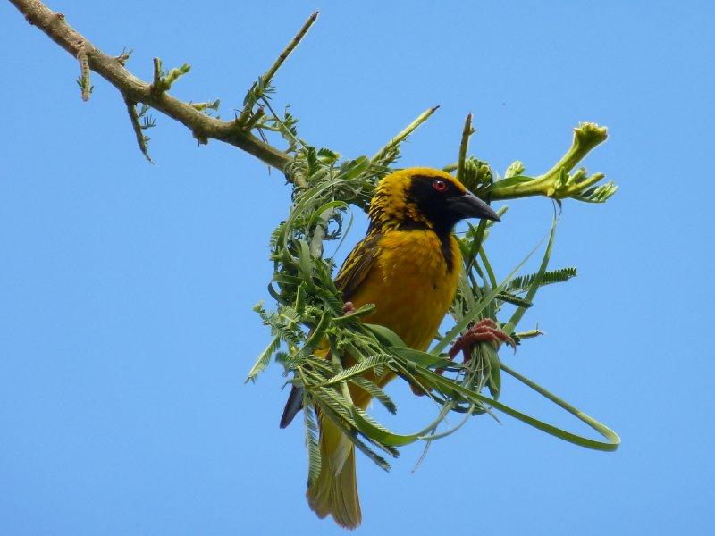 Social Weaver Bird