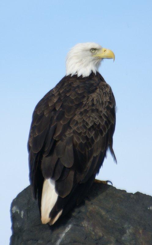 Bald eagle, Nova Scotia