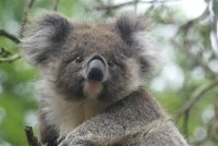 Koala, Tower Hill, Victoria