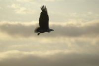 White-bellied Sea Eagle, Northern Queensland