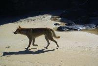 Dingo on Fraser Island beach