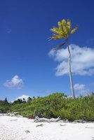 Lonely palmtree at Oeno atoll