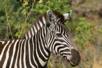 Zebra ready for the photo in Pilanesberg Park