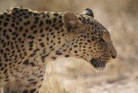 Leopard in Kgalagadi Transfrontier Park