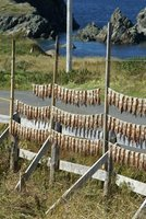 Squid drying in the sun, Newfoundland