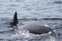 Close encouter with a pilot whale, Nova Scotia