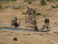 Kudus and a leopard turtoise