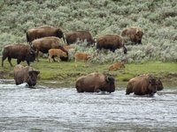 Bison crossing the river, Yellowstone NP