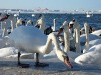 Swans at Tallinn Bay