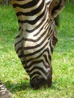 Zambian Zebra