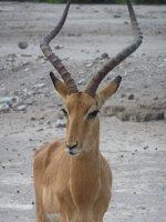 Proud Impala, Chobe NP, Botswana
