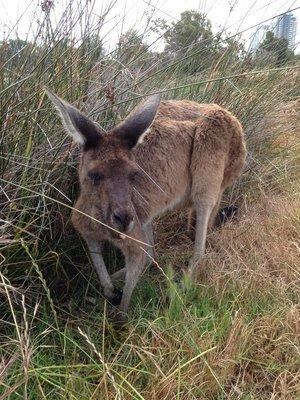 90_12-Kangaro..sson_Island.jpg