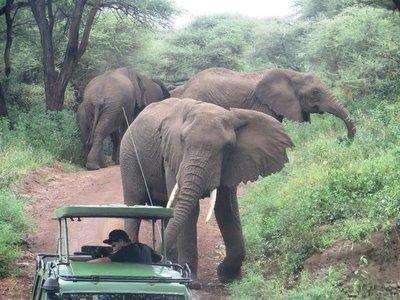 An elephant takes umbrage to a vehicle in Lake Manyara NP, Tanzania