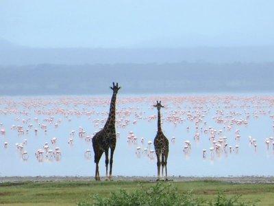 Giraffe and flamingos, Lake Manyara, NP, Tanzania