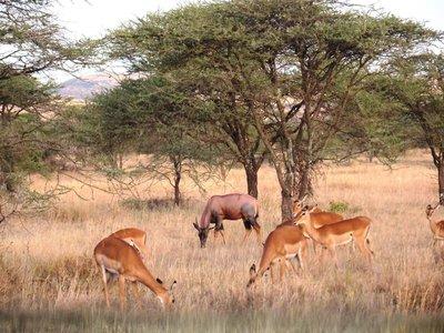 Topi and Grant's gazelles, Serengeti, Tanzania