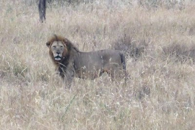 Taken from a distance, a male lion following his females on their path to make a kill, Serengeti, Tanzania