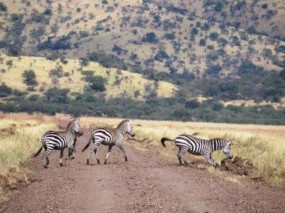 Zebra cross the road in front of us, Serengeti, Tanzania