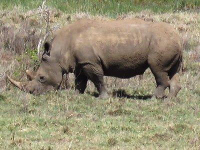 Rhino, Nakuru NP, Kenya