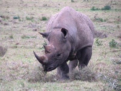 A rhino, Nakuru NP, Kenya