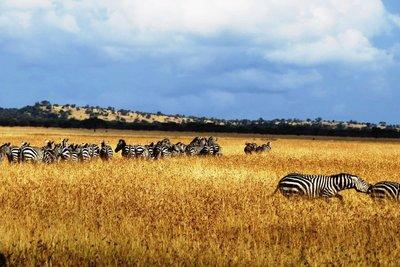 The gold of the Serengeti savanah, Tanzania
