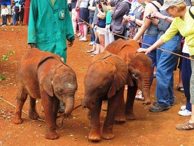 Orphaned baby elephants, David Sheldrick Wildlife Trust centre, Nairobi
