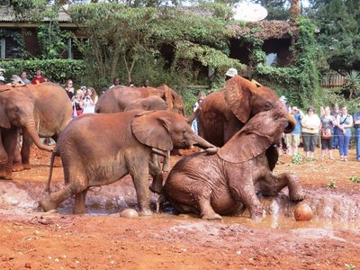 Young elephants playing in the mud, David Sheldrick Wildlife Trust centre, Nairobi