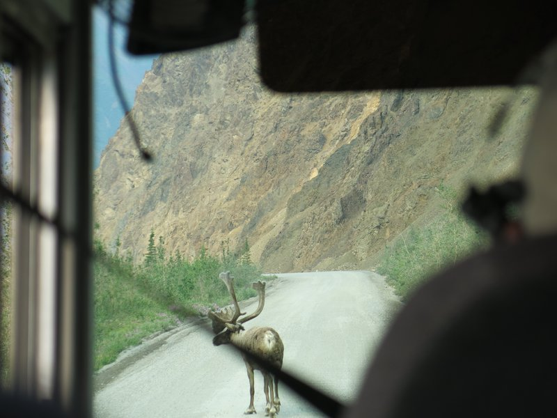 Another caribou on the road