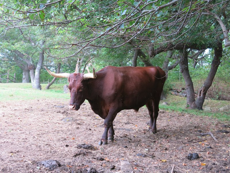 Plymouth cow