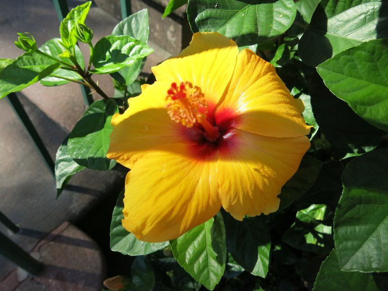 Hibiscus, Savannah