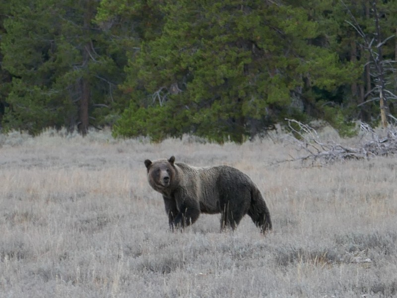 large_P1050813GrizzlyBear.JPG