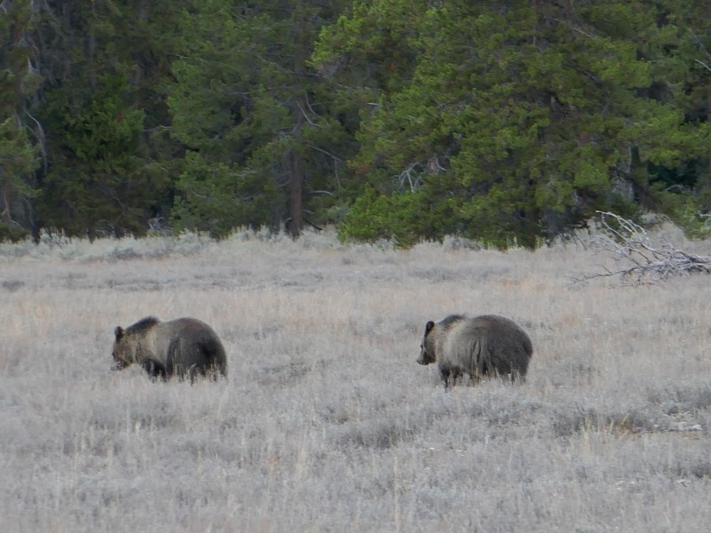 large_P1050815GrizzlyBearCubs.JPG