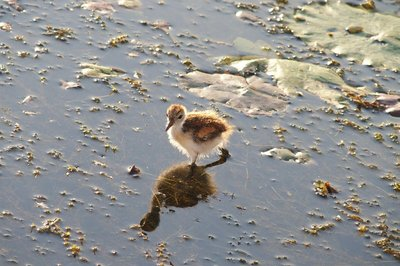 Jacana chick walking on water, just like Daddy.
