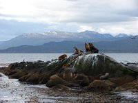 Seals Beagle Channel