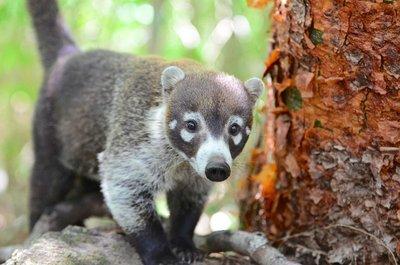 A curious coati