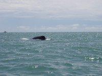 Whale near Quepos