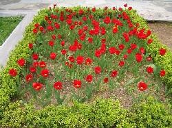 Tulips from Turkey