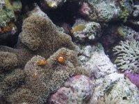 Clown fish Snorkling Steve