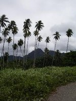 On the way to Lambi (coconut trees)