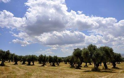 Puglia Olive groves