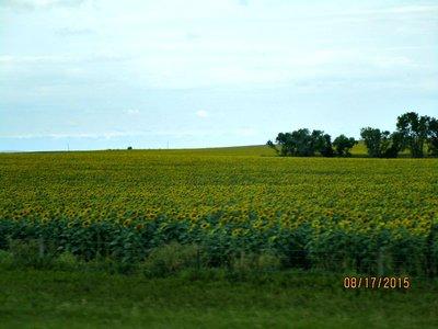 SD sunflower fields