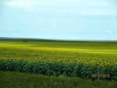 SD sunflower fields3