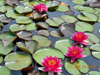 bot_waterlly_pond_pink.jpg