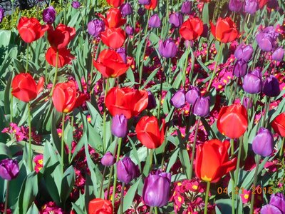 tulips_purple_red.jpg