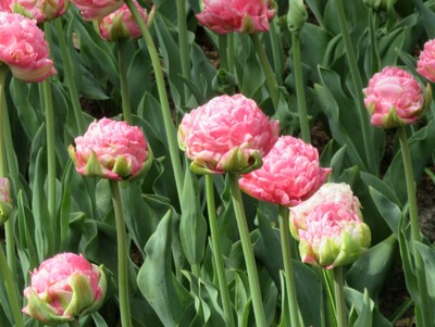 A beautiful tulip that looks like a chrysanthemums