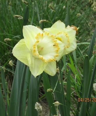 Pale yellow daffodils